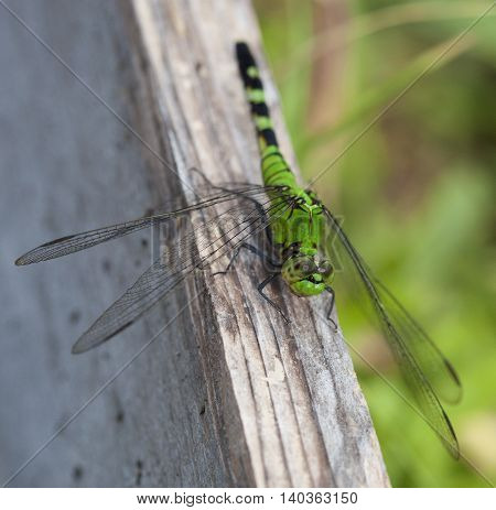 Big green dragonfly on a board watching the camera