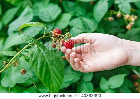 Woman's hand gather red ripe raspberries on a bush. Closeup of fresh organic berries with green leaves on raspberry cane. Summer garden in village. Growing berries harvest at farm