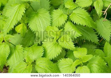 Green stinging nettle (urtica dioica) in garden