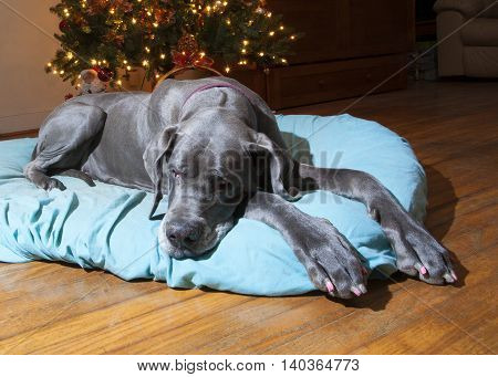 Purebred grey Great Dane laying in front of the Christmas tree