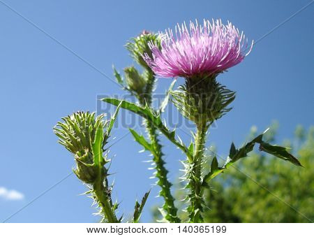 Closeup view of burdock (agrimony) flower with blue sky background