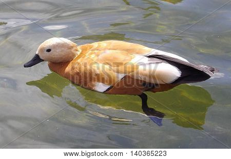 Birds in wildlife. Amazing orange duck swims in lake or river with clear water under sunlight landscape. Duck bird swims in water.
