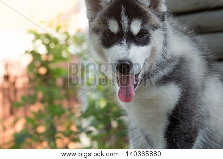 Cute husky puppy little dog domestic pet with his mouth open red tongue and soft fur sitting on natural background outdoor