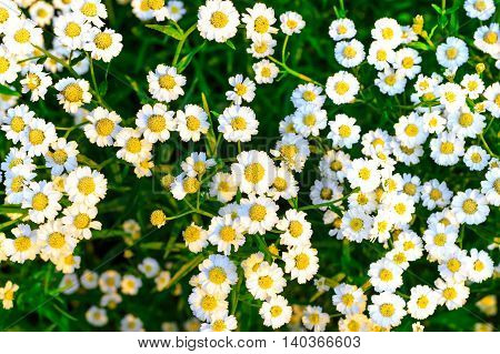 a lot of daisies in a garden filled with sunlight