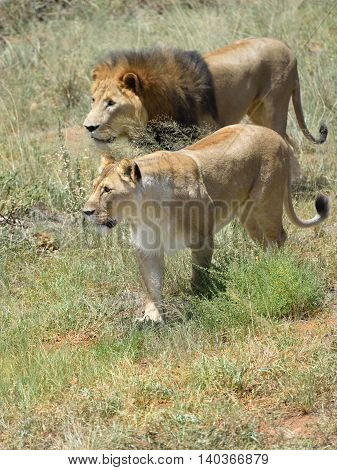 Couple of lions on the hunt. Lion and lioness ready to attack in the African bushveld Namibia. Focus on the lioness