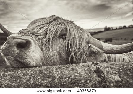 A Highland cow peeking over a stone dyke for a photograph