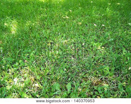 Beautiful grass or herb in a public garden