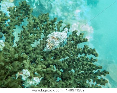 closed up the staghorn in Myanmar divesite