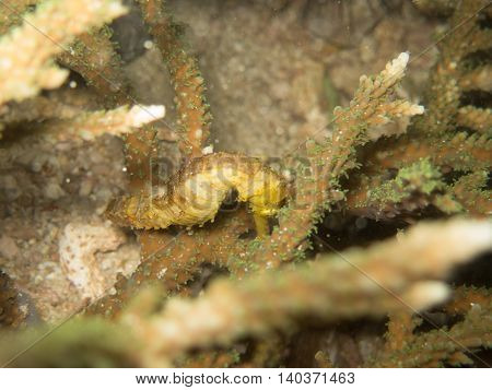 closed up the yellow seahorse in Myanmar divesite