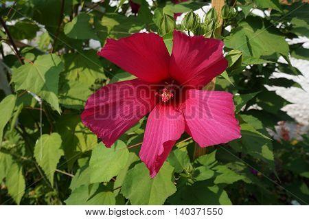 Hibiscus deep burgundy big flower and buds.