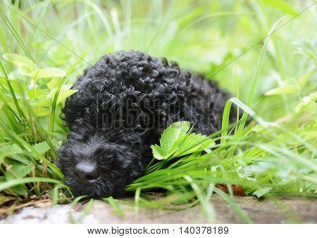 Black Cute  Poodle In Grass