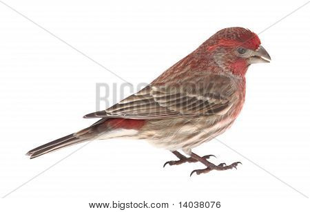 House Finch, Carpodacus Mexicanus, Isolated
