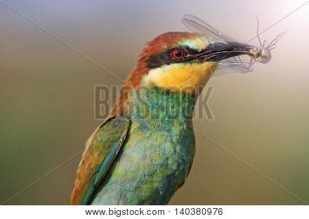 Rainbow bird of prey, color bird, bird of paradise, bright colors with sunny hotspot, european bee eater