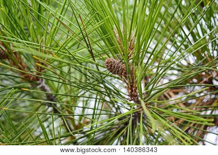 Beautiful young pinecone growing on fir tree.
