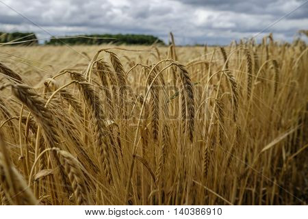 Barley crop turning gold and almost ready for harvest in the English countryside