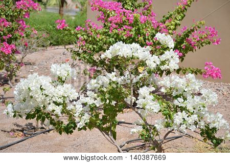 Flowering shrub with white flowers in the sun