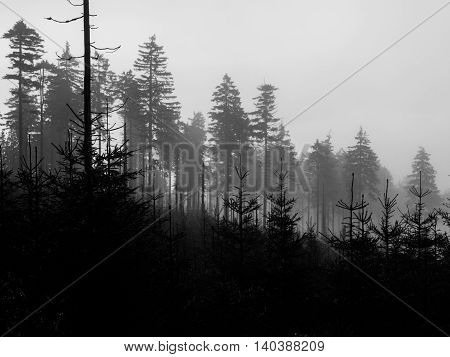 Silhouettes of young and old coniferous trees on foggy day . Black and white image.