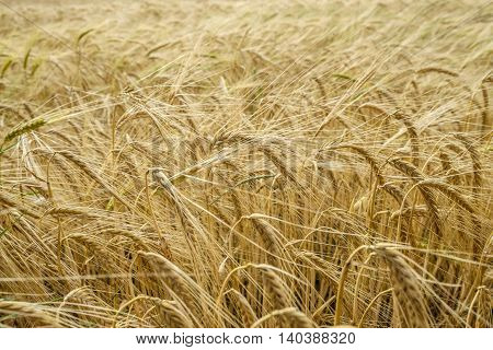 Beautiful ears of gold barley swaying in the summer breeze