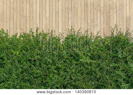 Green Bush Shot Against Light Color Wooden Wall At Daytime In Summer