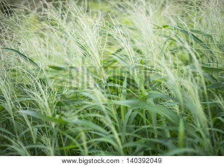 Grass( soft focus)/Green Meadow as a natural airflow