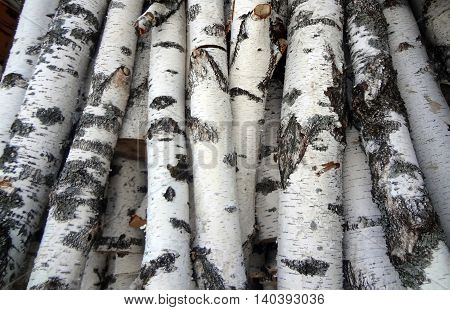 The birch trees ready for using in fire or for construction