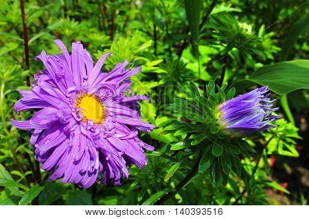 Garden violet asters on green flower bed.