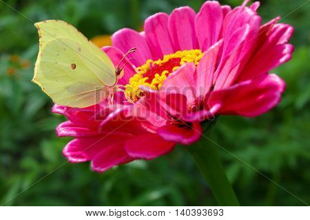 Garden pink flowers with a white butterfly