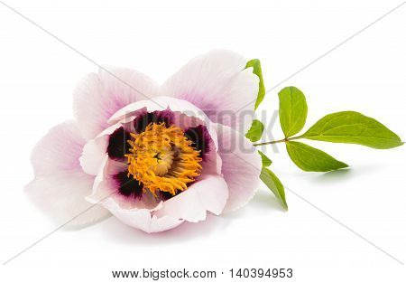 flower pink peony isolated on white background