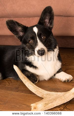 Portrait of a dog breed Welsh Corgi Cardigan