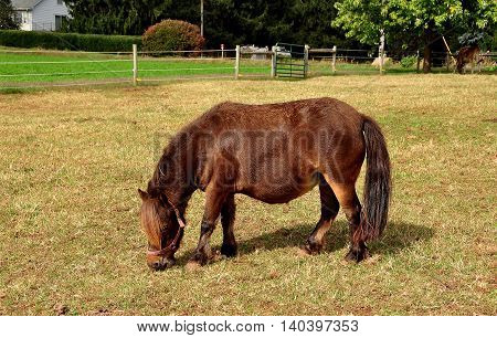 Lancaster County Pennsylvania - October 13 2015: Miniature brown horse grazing in a pasture on nn Amish farm