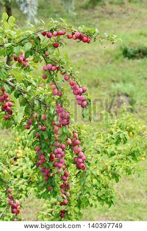 Cherry plums growing on tree branches in the garden