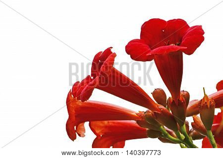 Red flowers of trumpet creeper climber vine - Campsis radicans isolated on white background.