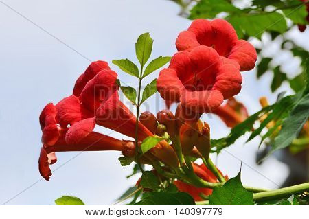 Red flowers of trumpet creeper climber vine - Campsis radicans