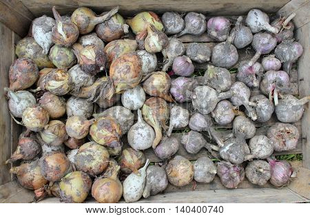 Harvesting. Onion and garlic. Autumn. agriculture. vegetable bed