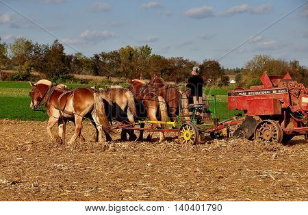 Lancaster Pennsylvania - October 15 2015: Amish woman driving a team of six donkeys working in a field on the family farm