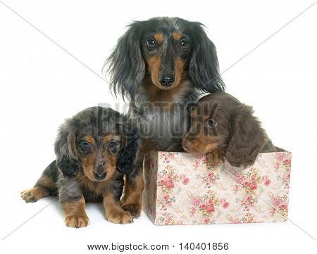three dachshund in front of white background