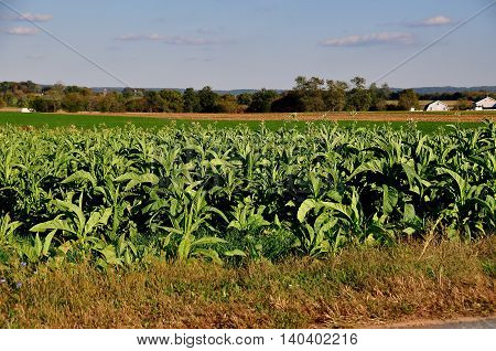 Lancaster County Pennsylvania - October 15 2015: Tobacco plants growing in a field on an Amish farm