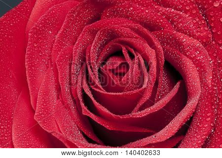 a beautiful red rose with wet petals