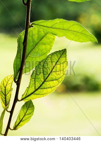 Green Leaf On The Branch