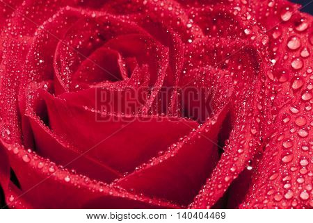 red rose close up whit water drips