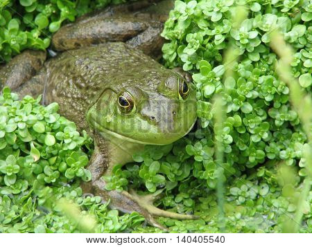 Green frog ready to jump from a swampy marshland.