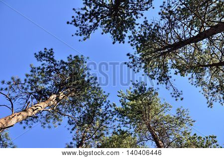 An upward view of tall Colorado Spruce trees against a bright blue sky