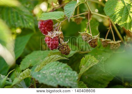 raspberry bush with berries on a branch in the garden