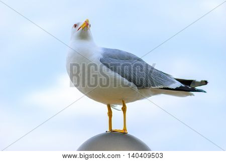 one Seagull stands and posing for the camera
