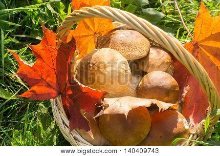 Porcini Mushrooms In A Basket