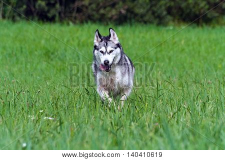 portrait of an adult dog breed alaskan malamute, fluffy, wet and dirty, running outdoors on green grass,