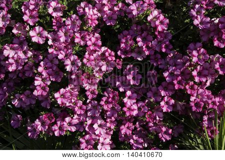 Fucsia Flowers Called Campanula Or Bellflower