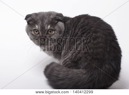 Scottish Fold cat on a white background