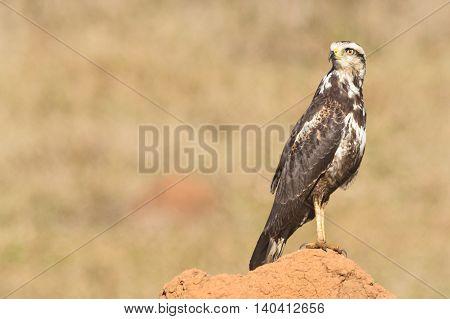 A young Savanna Hawk (Heterospizias meridionalis) resting on termite mound