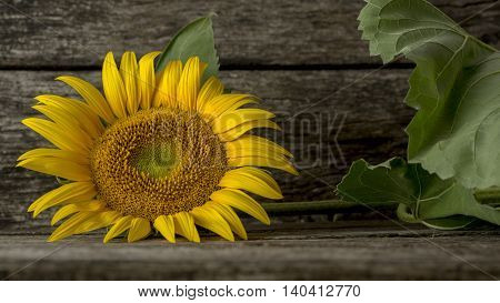 Single mammoth sunflower bloom with green stalk and leaves laid down sideways on wooden table.